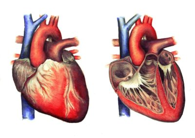 Szív és vérkeringés